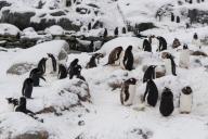 Gentoo penguin colony (Pygoscelis papua), Petermann Island, Antarctica.
