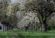 """25 March 2020, Baden-Wuerttemberg, Karlsruhe: A meadow orchard consisting mainly of pear trees, taken in Karlsruhe. (to dpa: """"Where nature is booming - orchard meadows let life blossom"""") Photo: Uli Deck/"""