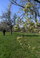 """25 March 2020, Baden-Wuerttemberg, Karlsruhe: A meadow orchard, taken in Karlsruhe. In the foreground pear blossoms can be seen. (to dpa: """"Where nature is booming - orchard meadows let life blossom"""") Photo: Uli Deck/"""