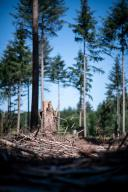 13 July 2020, North Rhine-Westphalia, Meckenheim: A tree stump stands in the middle of spruces in a forest. The situation in North Rhine-Westphalia\'s forests is getting worse: Experts estimate that trees will continue to die off en masse in 2020 due to bark beetles and drought. The state is significantly increasing its aid. Photo: Fabian Strauch
