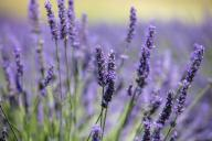 firo: 09.07.2020, travel, France, Provence, tourism, flora, lavender, lavender fields at Valensole, | usage