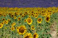 firo: 09.07.2020, travel, France, Provence, tourism, flora, lavender, lavender fields near Valensole, before that sunflowers | usage