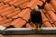 SÃO PAULO, SP - 16.07.2020: CARCARà EM SP - Carcará, (Caracara plancus), a species of bird of prey in the falconid family, is seen in an urban area in the north of São Paulo, this Thursday (16). Many factors justify the presence of these birds in the urban perimeter, the main one being that in the city they find food and shelter offer, they started to appear in urban environments due to the loss of natural habitat. (Photo: Roberto Casimiro\/Fotoarena
