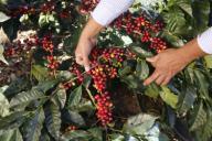 19/12/2018. Alajuela. Nuevas variedades de café se cultivan en varias fincas en Naranjo. Según los productores el rendimiento de las nuevas especies de origen brasileño va a ser mucho mayor al promedio actual de 24 fanegas por hectárea. En la foto: El ingeniero Luis Zamora realiza una inspección en un cafetal de la variedad conocida como centroamericano de 28 meses de edad. Las plantas no alcanzan gran altura y producen cafe desde las ramas más bajas. Otra particularidad es que las ramas se bifurcan dando lugar a más fruto. Foto: Albert Marín.