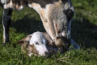 (200713) -- ILI, July 13, 2020 (Xinhua) -- A newborn calf is seen with its mother at the summer meadow in Tekes County, northwest China\'s Xinjiang Uygur Autonomous Region, July 2, 2020. (Xinhua\/Wang Fei