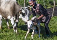 (200713) -- ILI, July 13, 2020 (Xinhua) -- A woman helps a newborn calf stand up at the summer meadow in Tekes County, northwest China\'s Xinjiang Uygur Autonomous Region, July 2, 2020. (Xinhua\/Wang Fei