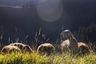 (200713) -- ILI, July 13, 2020 (Xinhua) -- Sheep graze at the summer meadow in Tekes County, northwest China\'s Xinjiang Uygur Autonomous Region, July 2, 2020. (Xinhua\/Wang Fei