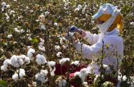 (200926) -- SYRDARYA, Sept. 26, 2020 (Xinhua) -- A worker harvests cotton in Syrdarya region, Uzbekistan, Sept. 24, 2020. (Photo by Zafar Khalilov\/Xinhua