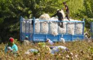 (200926) -- SYRDARYA, Sept. 26, 2020 (Xinhua) -- Workers harvest cotton in Syrdarya region, Uzbekistan, Sept. 24, 2020. (Photo by Zafar Khalilov\/Xinhua