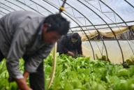 (200926) -- QAMDO, Sept. 26, 2020 (Xinhua) -- People work in a greenhouse in Yazhong Village of Qamdo, southwest China\'s Tibet Autonomous Region, Sept. 21, 2020. Greenhouse vegetable planting developed in Yazhong Village provides jobs for impoverished villagers here and helps boost their income. (Xinhua\/Jigme Dorje