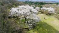 Cherry tree designated as natural monument in full bloom Blossoms on a cherry tree that is designated as natural monument No. 159 reach full bloom in the city of Jeju on South Korea